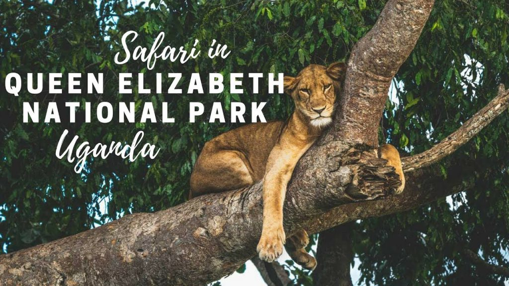 A tree climbing lion lying in a tree, looking down on the Savannah in Ishasha Sector of Queen Elizabeth National Park